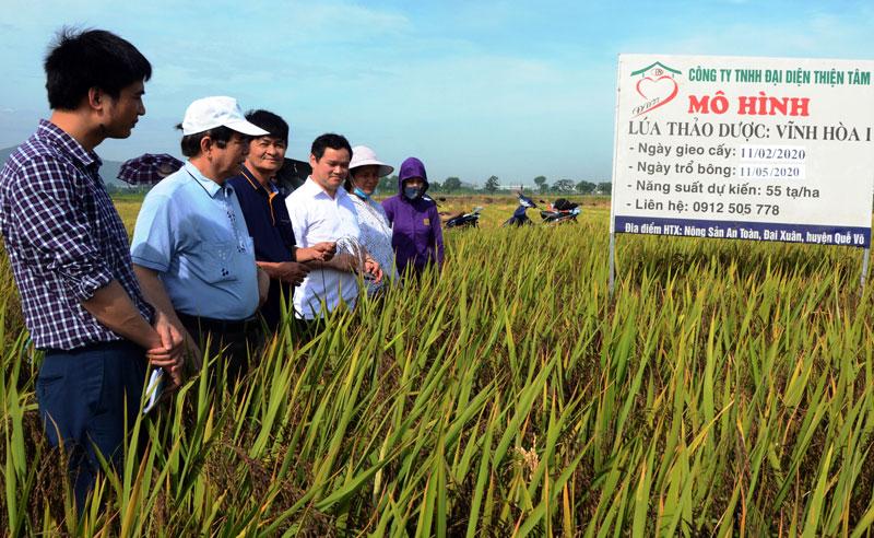 Giống lúa thảo dược Vĩnh Hòa 1 đạt năng suất 55 tạ/ha